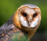 Red And Brown Barn Owl.