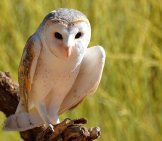 Beautiful Barn Owl On A Tree Branch.