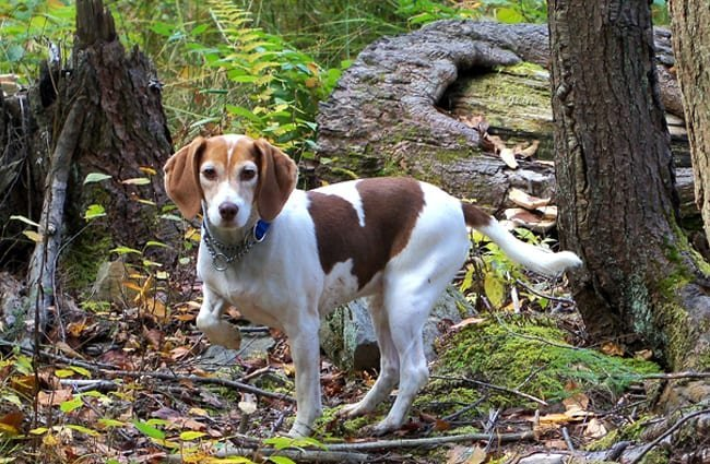 Beagle in the woods.