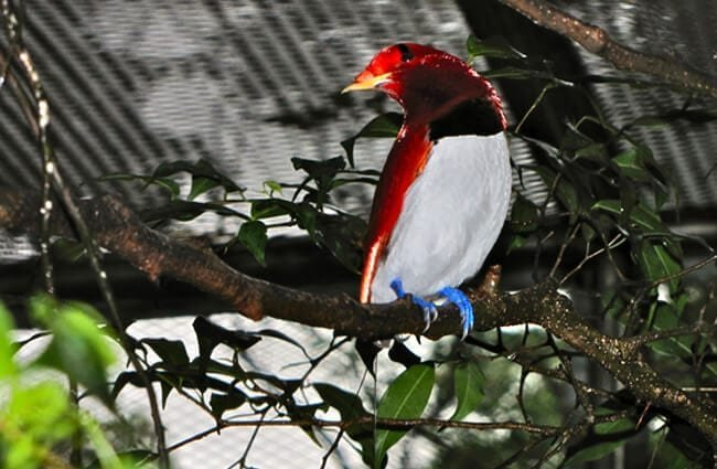 King Bird-of paradise, in the Bird Park Kuala Lumpur. Photo by: Bernard DUPONT //creativecommons.org/licenses/by/2.0/