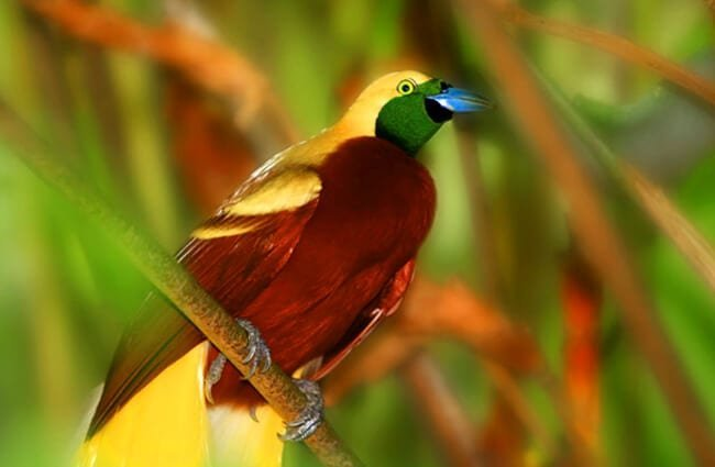 Stunning Cendrawasih bird of paradise.Photo by: (c) sydeen www.fotosearch.com