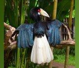 Indonesian Male Hornbill.photo By: (C) Swisshippo Www.fotosearch.com