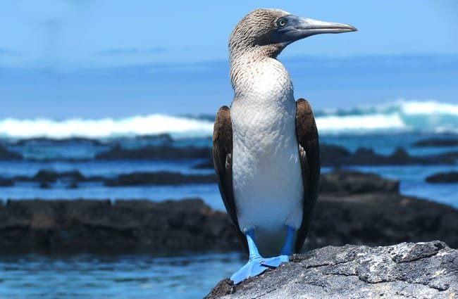 Blue Footed Booby at the water's edge