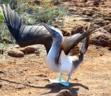 Blue Footed Booby With Wings Spread