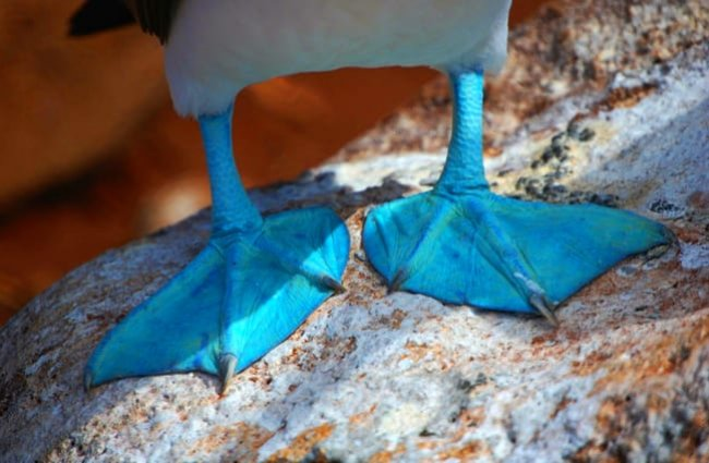 Feet of a Blue Footed Booby