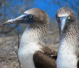 A Pair Of Feet Of A Blue Footed Boobies