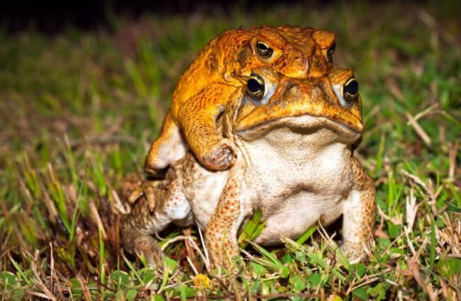 Two cane toads mating. Photo by: (c) jaykayl www.fotosearch.com