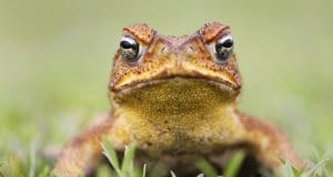 "Cane Toad - also known as a ""giant neotropical,"" or ""marine toad.""Photo by: (c) isonphoto www.fotosearch.com"