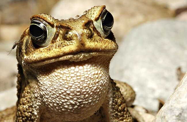 Cane toad calling. Photo by: (c) kikkerdirk www.fotosearch.com