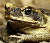 Closeup Of A Cane Toad - Notice His Large Eyes. Photo By: (C) Kikkerdirk Www.fotosearch.com
