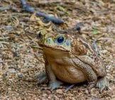 Cane Toad On The Forest Floor.