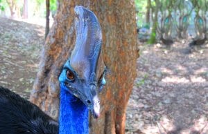 Closeup of a cassowary's casque.Photo by: albertstraubhttps://creativecommons.org/licenses/by/2.0/