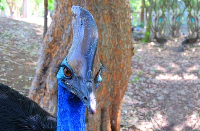 Closeup of a cassowary's casque.Photo by: albertstraub//creativecommons.org/licenses/by/2.0/
