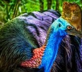 Closeup Of A Cassowary, Photographed In Wangetti, Australia. Photo By: Steven Dosremedios Https://creativecommons.org/licenses/by/2.0
