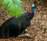 Cassowary Resting At The Australia Zoo. Photo By: John Https://creativecommons.org/licenses/by/2.0