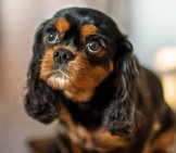 Portrait Of A Cavalier King Charles Spaniel Puppy. Photo By: Www.david Baxendale.com Https://creativecommons.org/licenses/by-Nd/2.0/