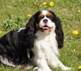 Portrait Of A Cavalier King Charles Spaniel.