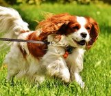 Cavalier King Charles Spaniel Running In The Yard.