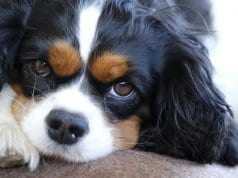 Closeup portrait of a young Cavalier King Charles Spaniel