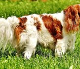 Cavalier King Charles Spaniel - Notice His Long Coat.