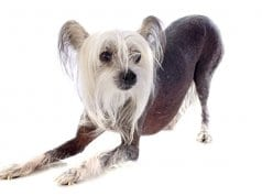 Beautiful Chinese Crested.Photo by: (c) cynoclub www.fotosearch.com