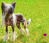 Chinese Crested Playing In The Summer Sun. Photo By: (C) Olgacov Www.fotosearch.com