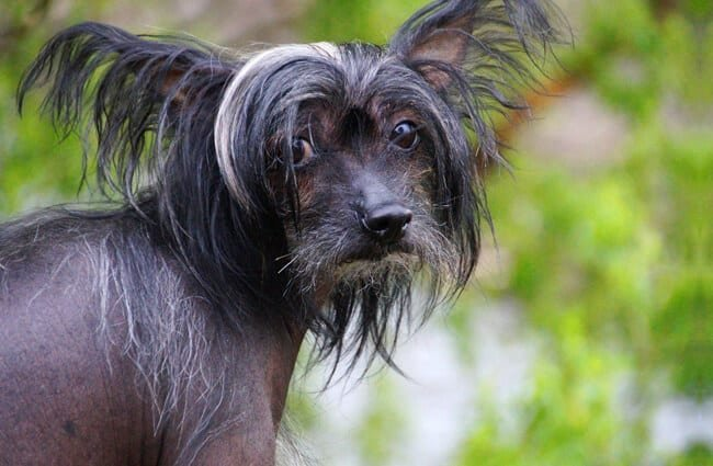 Black Chinese Crested.