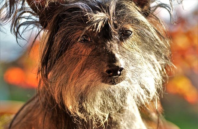 Closeup of a Chinese Crested.