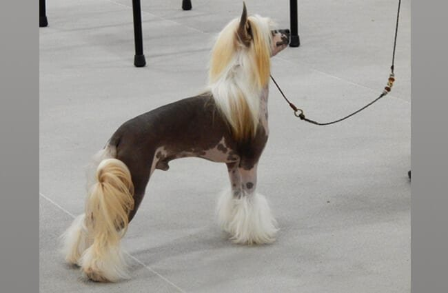Chinese Crested in show position. Photo by: Jena Fuller https://www.flickr.com/photos/jsf539/15280425996/