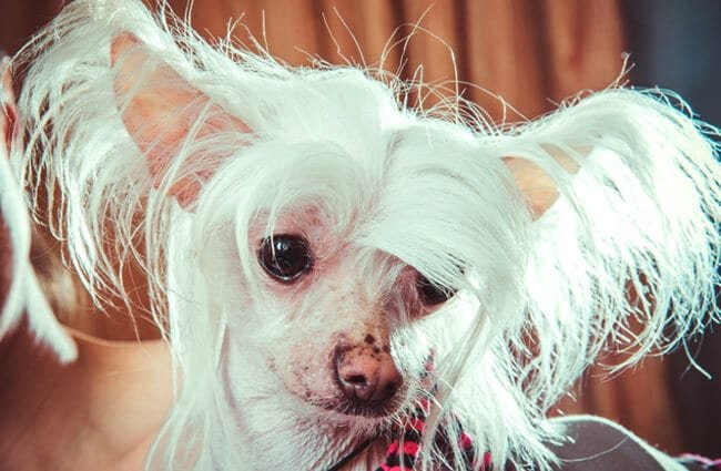 Closeup of a white Chinese Crested. Photo by: (c) liukov www.fotosearch.com