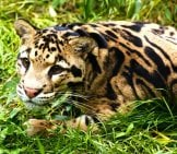 Clouded Leopard Stalking.