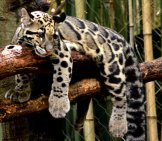 Sleepy Clouded Leopard On A Tree Branch. Photo By: Charles Barilleaux //creativecommons.org/licenses/by-Sa/2.0/