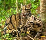 A Pair Of Clouded Leopards Playing In The Forest. Photo By: (C) Rufous Www.fotosearch.com
