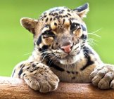 A Clouded Leopard Resting Atop A Tree Trunk. Photo By: (C) Nazzu Www.fotosearch.com