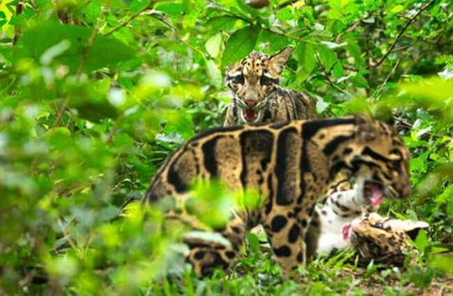 Clouded leopard camouflage. Photo by: (c) Rufous www.fotosearch.com