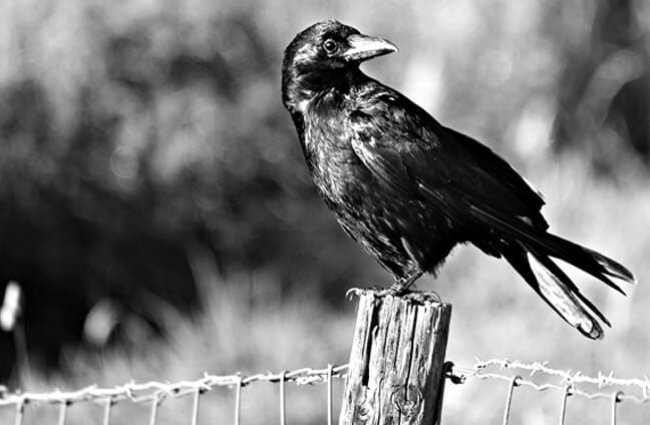 Crow sitting on an old fence post.