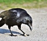 Crow Finding Food In The Park.