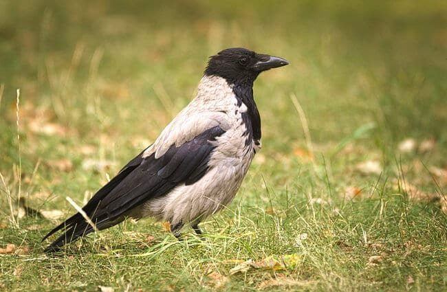 Hooded Crow Photo by: hedera.baltica https://creativecommons.org/licenses/by-sa/2.0/
