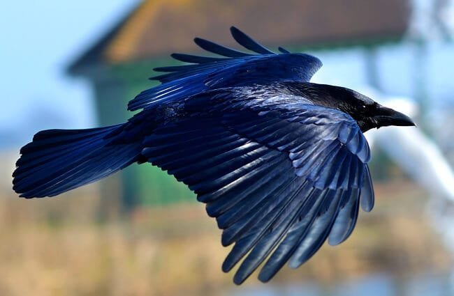 Black crow in flight. Photo by: Tim Spouge https://creativecommons.org/licenses/by-sa/2.0/