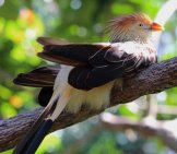Guira Cuckoo Photo By: Chad Sparkes //creativecommons.org/licenses/by/2.0/