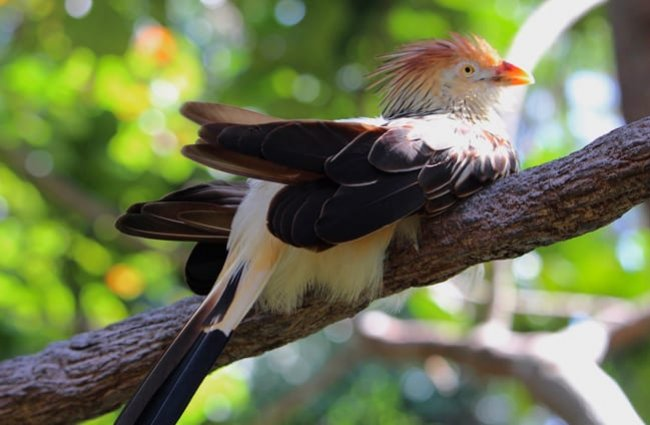 Guira Cuckoo Photo by: Chad Sparkes https://creativecommons.org/licenses/by/2.0/