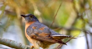 Fan-tailed CuckooPhoto by: Mark Gillowhttps://creativecommons.org/licenses/by/2.0/