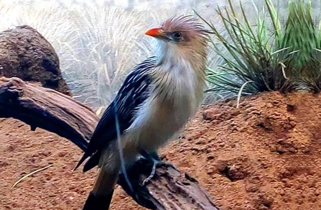 Guira Cuckoo Photo by: Eden, Janine and Jim https://creativecommons.org/licenses/by/2.0/