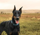 Doberman Pinscher In A Field.