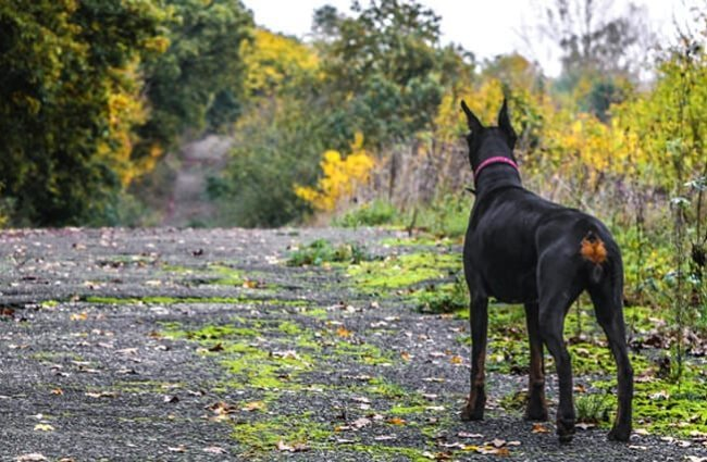 Doberman Pinscher from the rear.