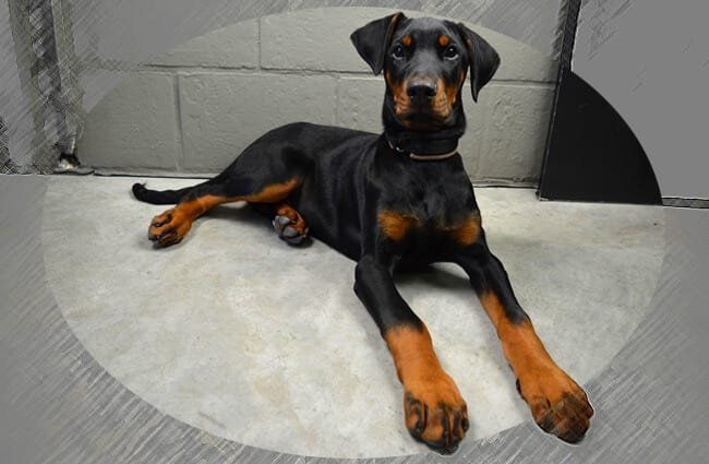 Doberman Pinscher puppy.