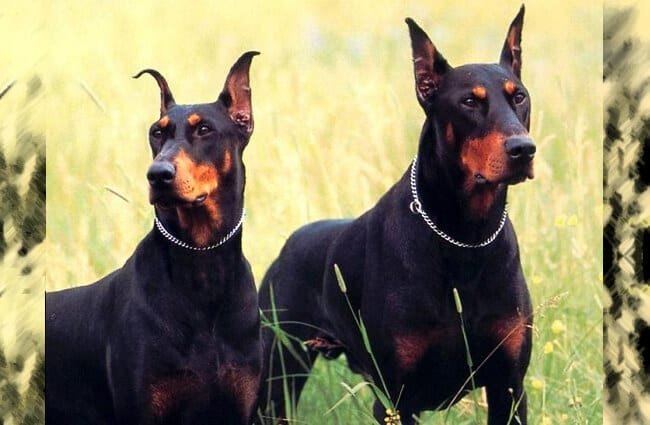 Portrait of a pair of Doberman Pinschers. Photo by: TNS Sofres https://creativecommons.org/licenses/by/2.0/
