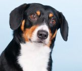 Portrait Of An Entlebucher Mountain Dog. Photo By: (C) Ivonnewierink Www.fotosearch.com