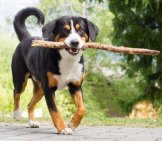 Entlebucher Mountain Dog Carrying A Prize Stick. Photo By: (C) Michaklootwijk Www.fotosearch.com