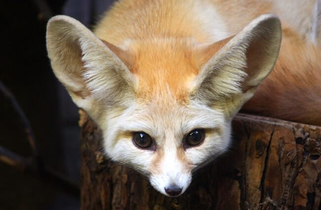 Closeup of a Fennec Fox face. Photo by: Kitty Terwolbeck //creativecommons.org/licenses/by/2.0/
